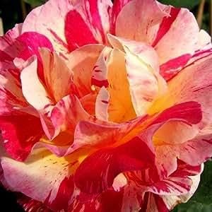 Französische Malerrose Maurice Utrillo®