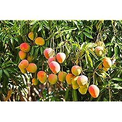Yukio Samenhaus - Selten Obstsamen unterschiedliche Sorten aus Asien/Afrika usw. Zuckermelone/Kirsche/Japanische Wollmispel/Navel-Orange/Litschi/ Pflaume/Mango/ Wassermelone usw