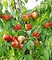 BALDUR-Garten Säulen-Nektarine 'Licecol®', Nektarinenbaum 1 Pflanze Prunus persica von Baldur-Garten bei Du und dein Garten