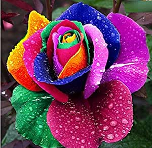 Exotic Plants Rose arc-en-couleur - 10 graines