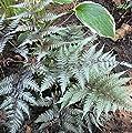 Regenbogenfarn Metallicum - Athyrium niponicum von Baumschule auf Du und dein Garten