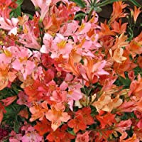 Alstroemeria Ligtu Hybrids Seeds