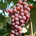 Vanessa, pilzfeste Wein Rebe rosa Traube, süß und kernlos im 2 Liter Topf von Grüner Garten Shop auf Du und dein Garten