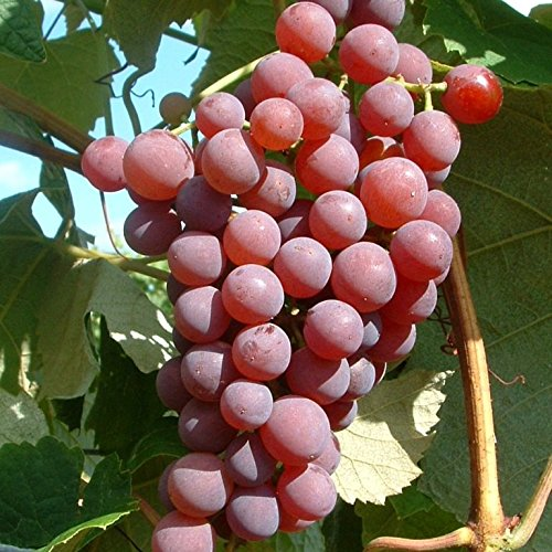 Phoenix süsse Tafeltraube Weintraube Weinstock Wein 60//100 cm im Topf pilzfest