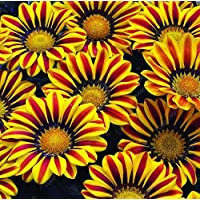 100 PCS magníficas Gazania Rig Semillas Flores Semillas para Bonsai Garden Balcón Semillas Gazania splendens Crisantemo púrpura