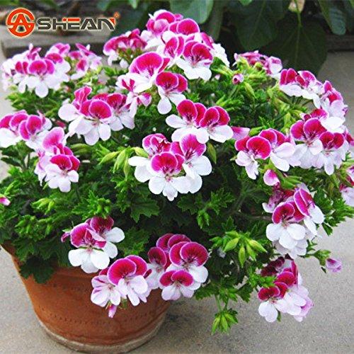100 Pièces/Sac à deux couleurs Rouge Blanc univalve Géranium Graines Graines de fleurs vivaces Pelargonium peltatum Graines pour intérieur Chambres