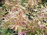 Fächer-Ahorn Beni shishi henge 140-150 cm - Acer palmatum 'Beni shishi henge'