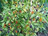 20 Samen *Mini-Chili* mit sehr guten Ertrag ''' Ähnliches Farbspektakel wie die Bolivien Rainbow'''