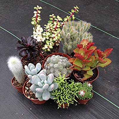 Kaktus & Sukkulenten Kollektion (10 Pflanzen) von CactusPlaza.com auf Du und dein Garten