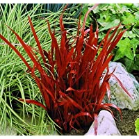 15 Stück Japanisches Blutgras mehrjährig Imperata Red Baron  im 9 cm Topf