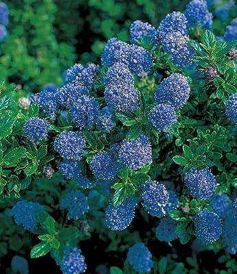 BALDUR-Garten Immergrüne Säckelblume Blauer Ceanothus 'Blue Mound', 1 Pflanze von Baldur-Garten - Du und dein Garten