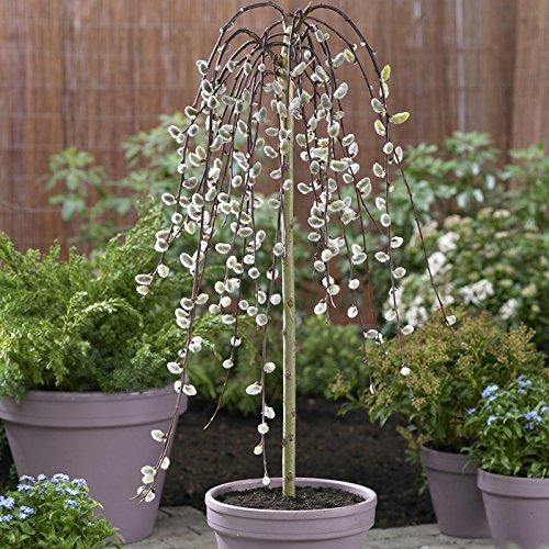 weeping-willow-salix-kilmarnock-standard-form-tree-90cm-tall-3l-pot