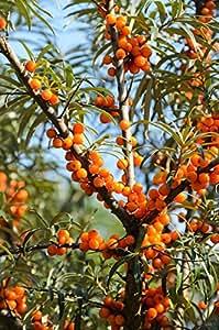 sanddorn set busch je 1 pflanze m nnlich pollmix 1 pflanze weiblich leikora zu dem. Black Bedroom Furniture Sets. Home Design Ideas