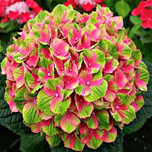 doppia-11-vendita-100pcs-ortensia-semi-planter-bonsai-seed-flower-garden-pianta-in-vaso-piante-ornam