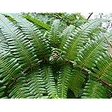 Gleichenia japonica - fougère - 100 graines