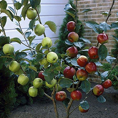 duo fruit apple tree 2 varieties on one bare root tree 14m amazoncouk garden u0026 outdoors