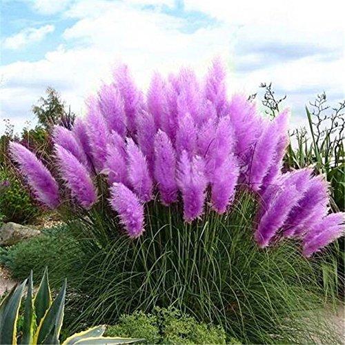 100 graines Violet Pampas herbe Semences, cour donc magnifiquement décorée Cortaderia Selloana herbe