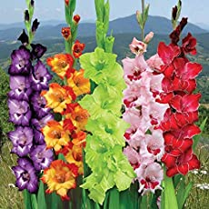 Gate Garden Gladiolus Mix Flower Bulbs - Set of 5