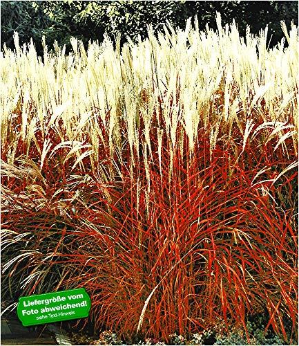 BALDUR-Garten Ziergras \'Indian Summer\' Chinagras, Chinaschilf, 1 Pflanze Miscanthus sinensis