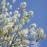 Dominik Blumen und Pflanzen, Bäume Amelanchier lamarckii, Kupfer Felsenbirne, 1 Stück, weiß