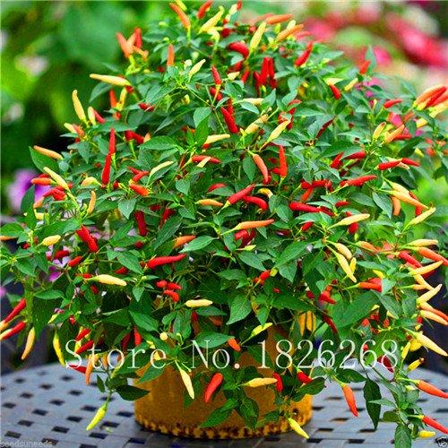 Graines de légumes graines indonésienne Hot Chili Pepper MONSTER Taille 28-33 cm décoration de jardin très rare 100pcs B03 2