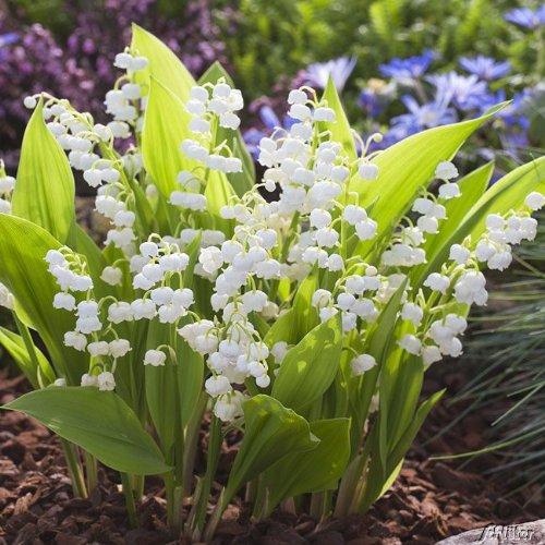 Produkt-Bild: Maiglöckchen weiß - Convallaria majalis Pflanze winterfest als Wurzelware - Maieriesli pflegeleicht, robust, schöner Duft - 15 Wurzelstöcke von Garten Schlüter - Pflanzen in Top Qualität