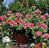 Beautytalk-Garten Hänge-Geranien-Mix'Red & White', Pelargonium peltatum Hängegeranie Duftgeranie Blumen winterhart mehrjährig Anti Moskito & Fliegen für Balkon und Terrasse