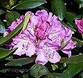 Rhododendron `English Roseum´ - INKARHO® - Pflanze von annas-garten bei Du und dein Garten