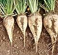 300 Samen Zuckerrüben Süße weiße Rüben Non-GMO Wurzelgemüse oder Futterpflanzen Samen von SVI bei Du und dein Garten
