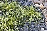 Carex oshimensis 'Evergold' 1 Liter (Ziergras/Gräser/Stauden) Japan Gold Segge