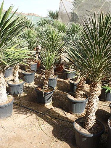 Yucca filifera - Palmlilie - RARITÄT - verschiedene Größen - PALLETTENVERSAND INNERHALB DEUTSCHLAND (110cm - Stamm 15-20cm - Ø40cm)