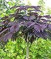 BALDUR-Garten Albizia 'Summer Chocolate' Seidenbaum, 1 Pflanze von Baldur-Garten - Du und dein Garten