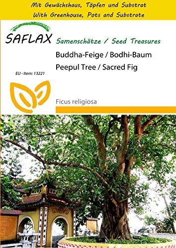 saflax-anzucht-set-buddha-feige-bodhi-baum-100-samen-ficus-religiosa