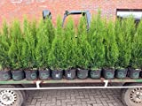 Edel Thuja Smaragd, Lebensbaum Heckenpflanze im Topf gewachsen 80-100cm
