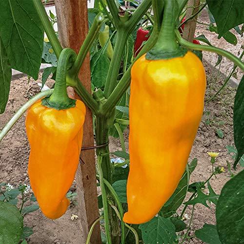 Samen Paket: 10+ Seeds: Corno Di Toro Giallo Pepper Samen er Samen seln