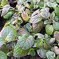lichtnelke - Weinminze ( Mentha piperita species ' Nepetoides ' ) Tb14 von Lichtnelke Pflanzenversand bei Du und dein Garten