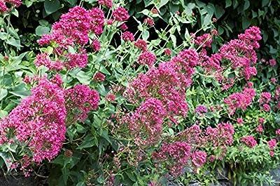 Echter Arznei Baldrian Valeriana officinalis 30 Samen