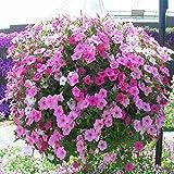 200PCS color puro semillas de la petunia semillas de flor de las flores perennes para jardín Bonsai crisol de establecimiento de la petunia para la decoración casera Rojo