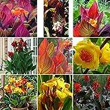 Wekold Canna Samen - 50 Samen Indisches Blumenrohr Mehrere Farben Wunderschön Blumen Gartendekoration 9 Farben