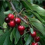 Süsskirsche Burlat Kirschbaum Obstbaum 2-jährig Busch 120-150 cm im 7,5 L Topf
