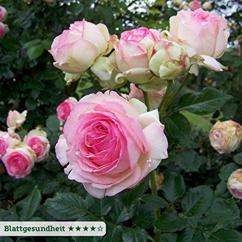 """Strauchrose """"Eden Rose®"""" - Hellrosa blühende Topfrose im 6 L Topf - frisch aus der Gärtnerei - Pflanzen-Kölle Gartenrose"""