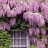 Keland Garten - 10 Glyzinie/Chinesischer Blauregen (Wisteria) Samen Blütenmeer winterhart mehrjährig (rosa)