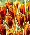 """Krokus """"Orange Monarch"""",15 Zwiebeln von Baldur-Garten - Du und dein Garten"""