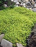 Amazon.de Pflanzenservice winterharte Staude Zitronenthymian, Thymus citriodorus, 4 Pflanzen,  7 - 9...