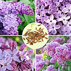 Bluelover 30Pcs Púrpura Fragante Lila Arbusto Semillas Vulgaris Syringa Semilla De Flores