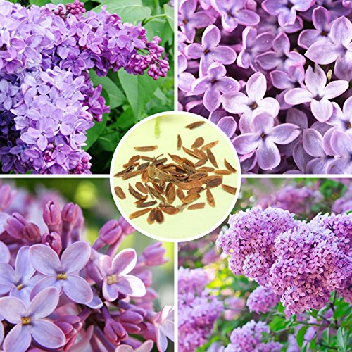 Bluelover 30pcs viola lilla profumato arbusto semi vulgaris syringa fiori semi