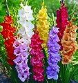Gladiolen-Mix 12/14, 4x15 Zwiebel von Dominik Gartenparadies - Du und dein Garten