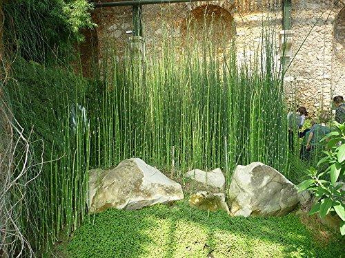 PLAT FIRM GERMINATIONSAMEN: 6 x Schachtelhalm Reed Teichpflanzen Bus Blick Zen-Garten -