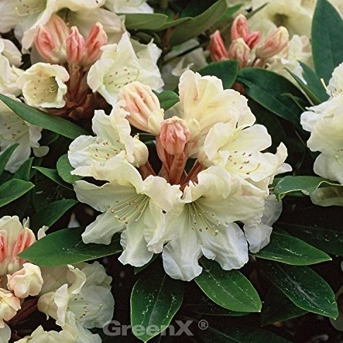 INKARHO - Rhododendron Golden Melodie 20-25cm - Alpenrose