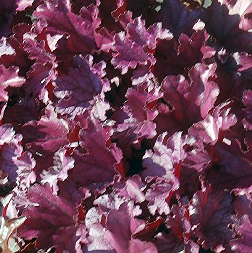 Garten-Silberglöckchen Farbe